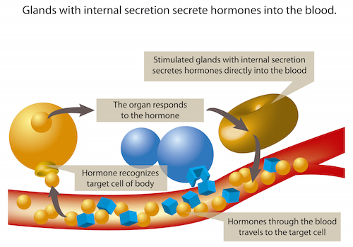 Glands secrete hormones into the blood