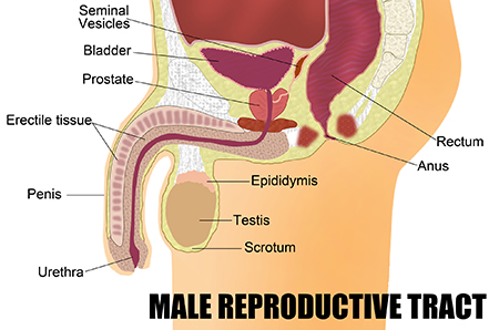 Illustration of male reproductive tract