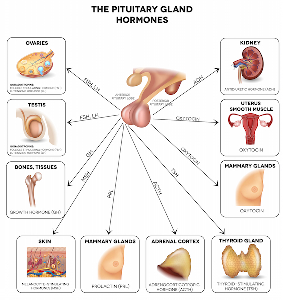 Hormonal production of the pituitary gland