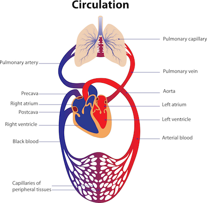 Breakdown of human circulatory components