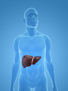 Location and function of liver in the body