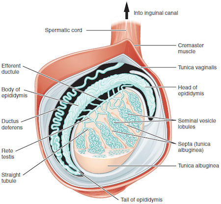 diagram of areas where testicular pain may reside By OpenStax College [CC BY 3.0 (http://creativecommons.org/licenses/by/3.0)], via Wikimedia Commons